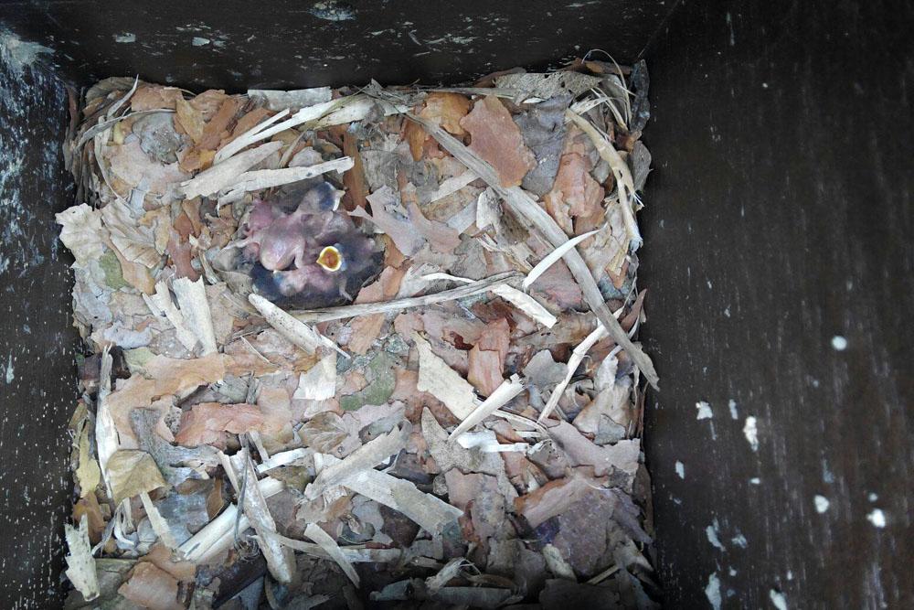 imagen de entrada del blog: Ya hay polluelos!!